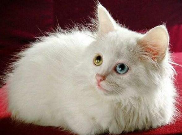 宠物在线知识问答关于金渐层猫的相关热门问题介绍