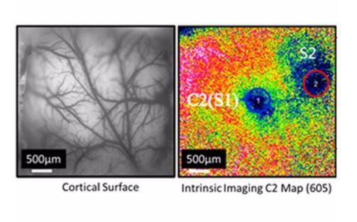 动物脑成像4.jpg